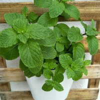 potted mint