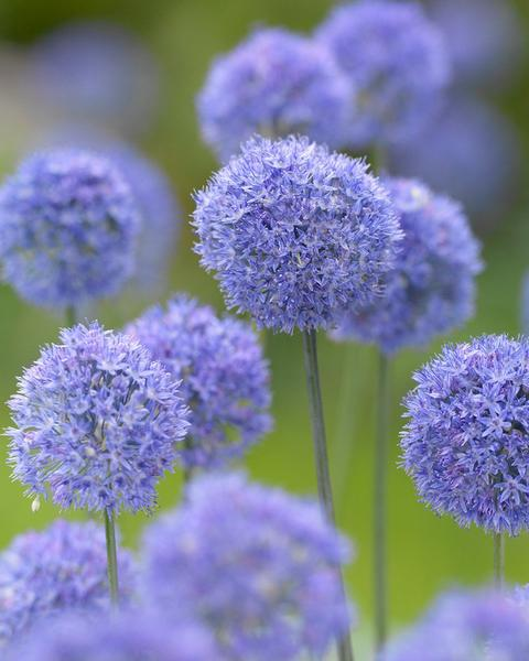 Allium azureum interesting facts