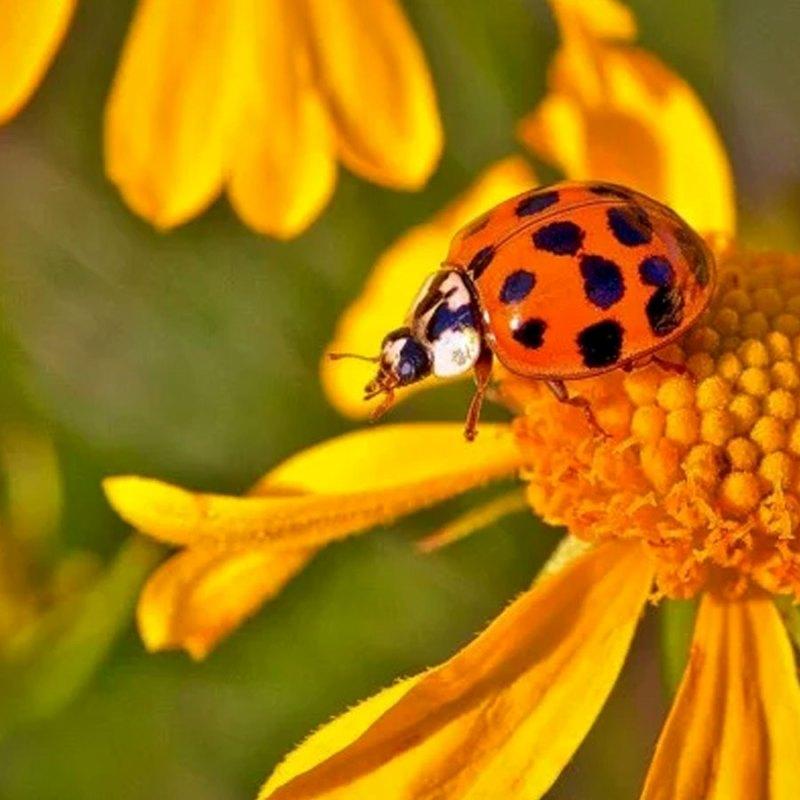 Asian ladybug on flower