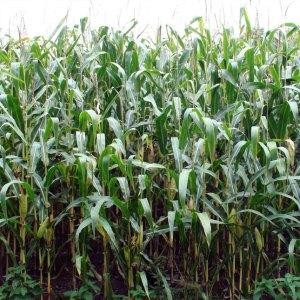 corn is grass