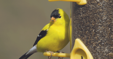 finches at feeders