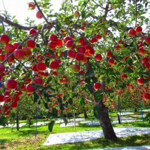regular apple tree