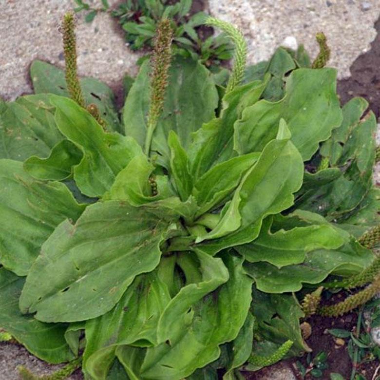 edible weed plantain broadleaf