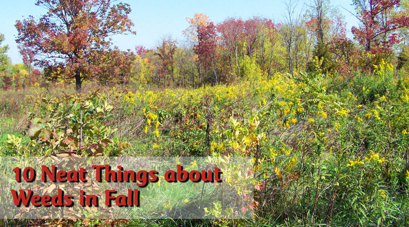 10 Neat Things about Weeds in Fall