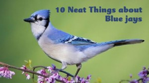 10 Neat things about blue jays