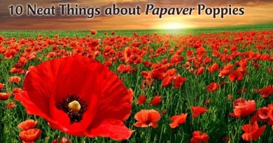 10 neat things about papaver poppies