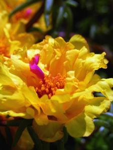 Portulaca-flower