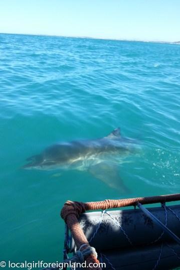 sharkcagediving-4