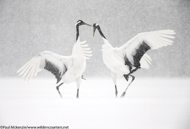 8-red-crowned-crane-courtship-dance-eastern-hokkaido-japan