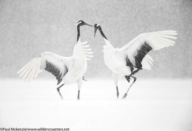 8-red-crowned-crane-courtship-dance-eastern-hokkaido-japan