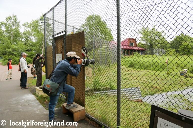 Japanese Crane Reserve Kushiro Tancho red crown cane-2631.JPG