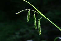 Carex prasina (Drooping sedge), photo by A. A. Reznicek. Spring, wet deciduous woods.