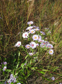 Aster laevis (Smooth Aster) fall, dry wood edges, prairies. Photo by B.S. Walters.