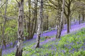 Bluebells, Scord Wood