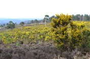 Gorse, Ashdown Forest