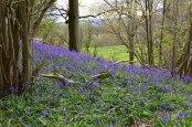 Ide Hill bluebells