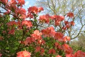 Azaleas at Emmetts