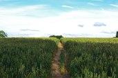 Final field to cross on Downe walk
