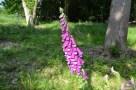 Foxglove Newtye Hurst wood