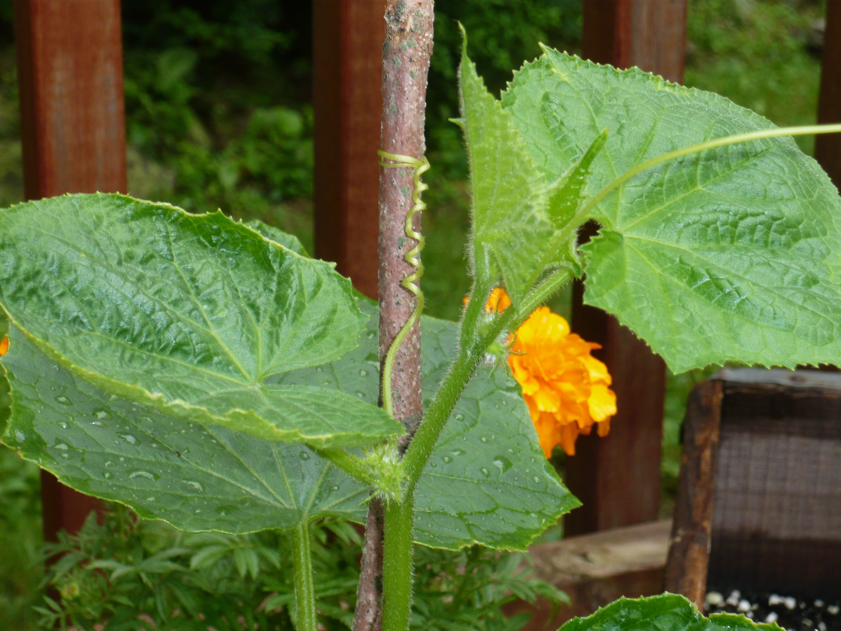 Who knew cucumber plants were so beautiful?
