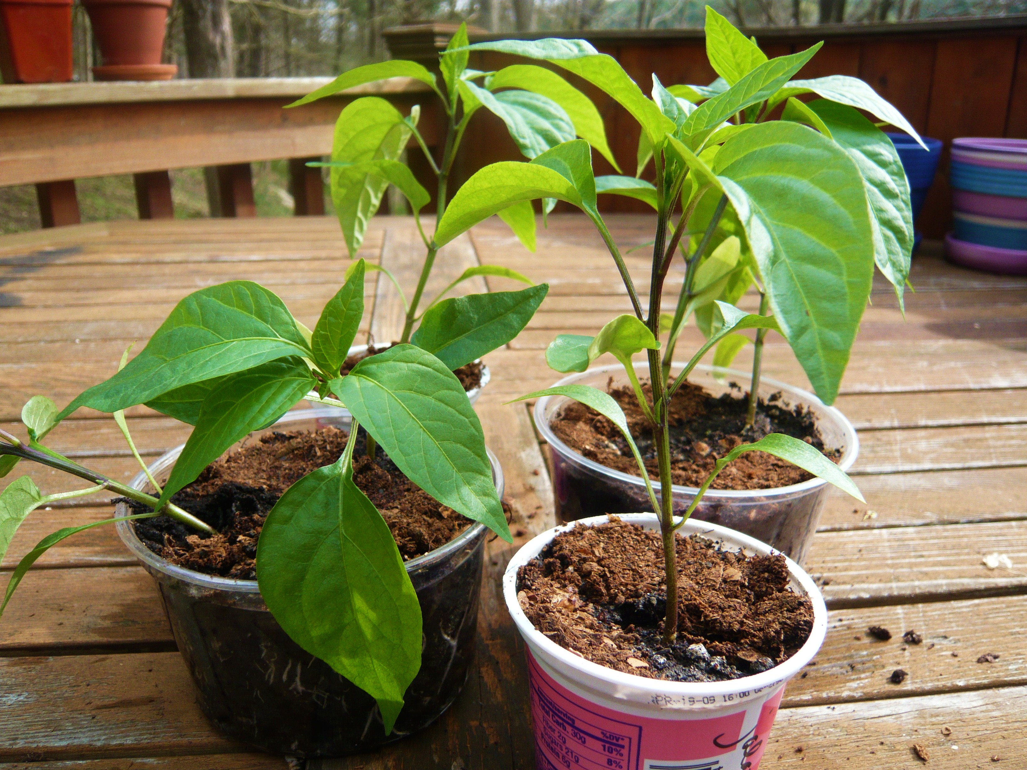 Jalapeno pepper seedlings.