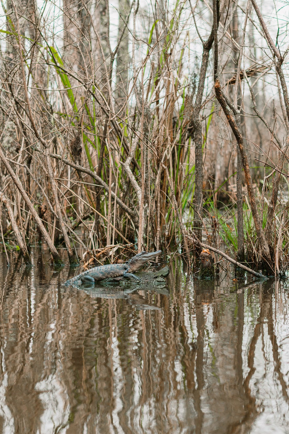 Alligator floating in the swamp in New Orleans