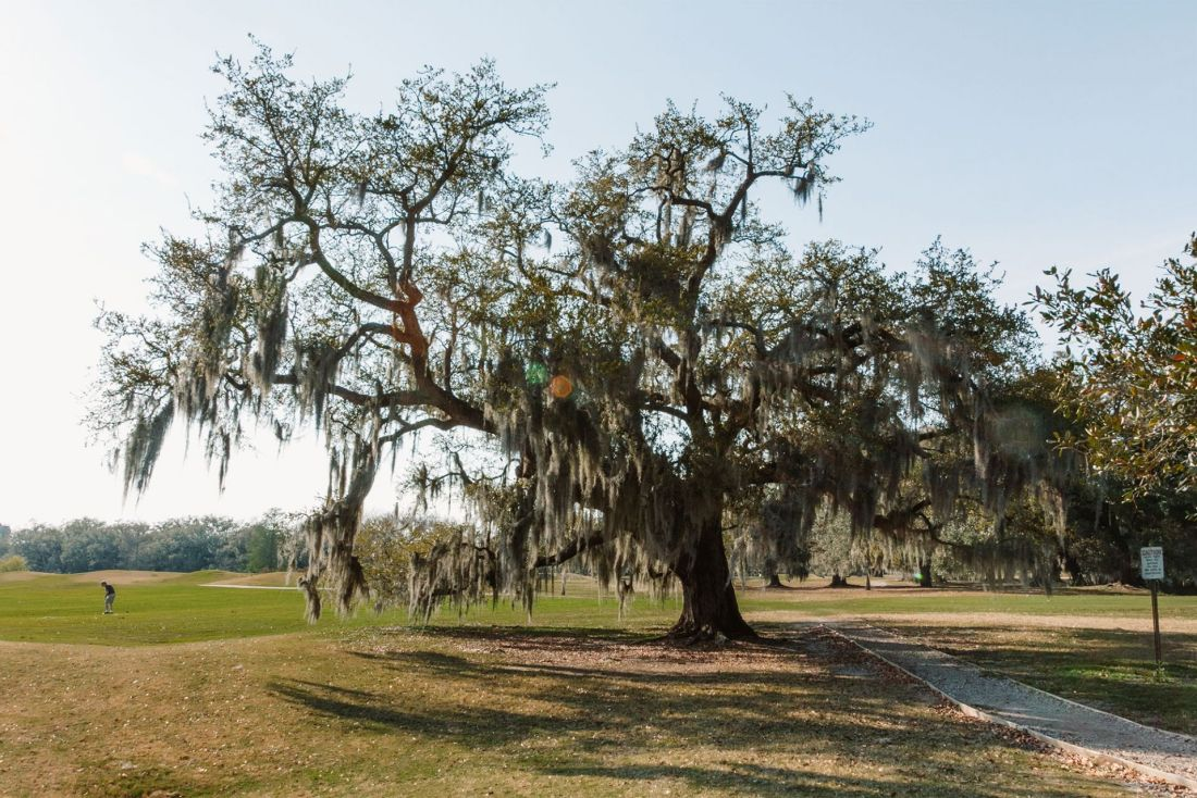 Large live oak tree draped with moss in park in New Orleans