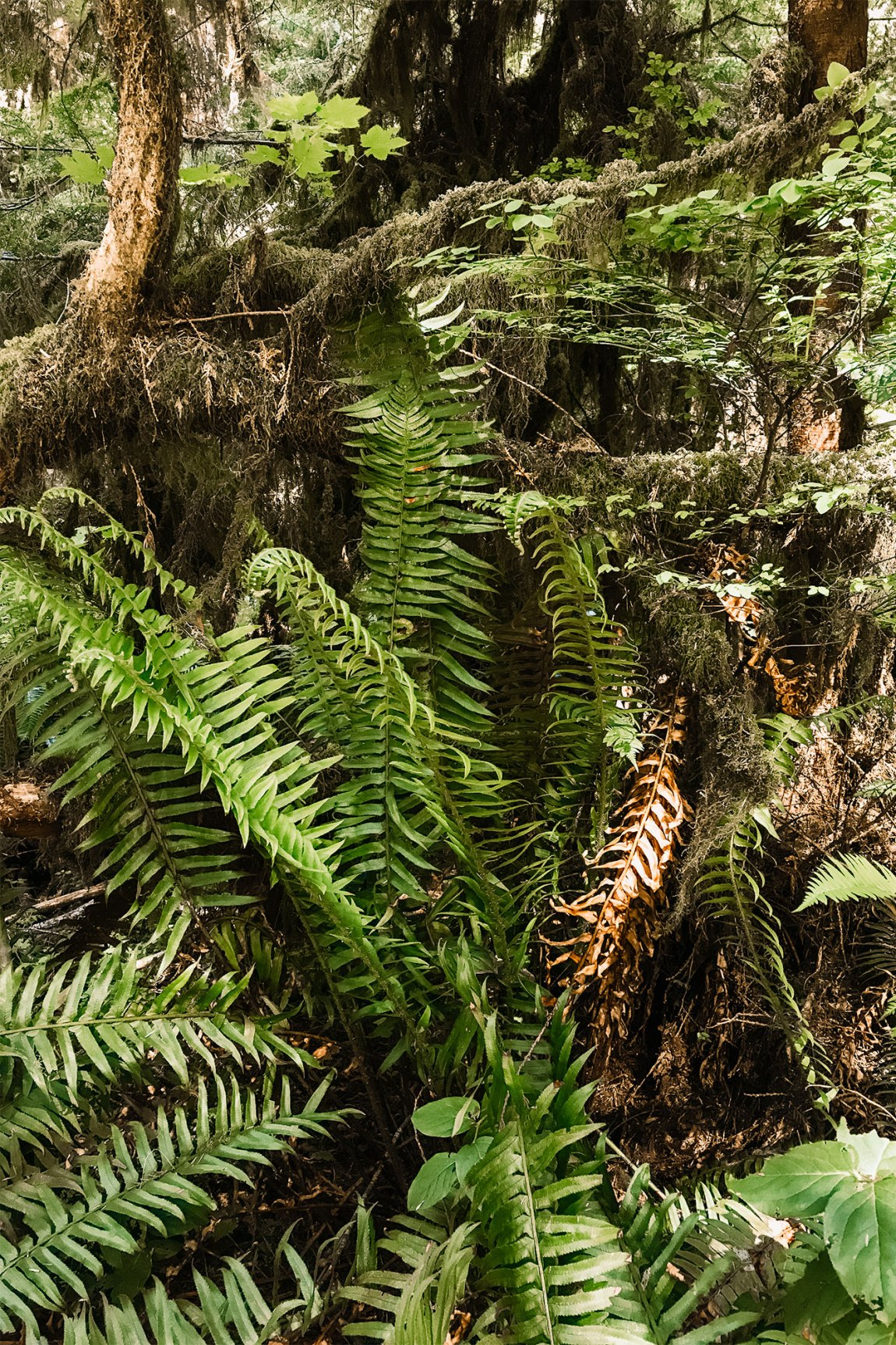 Ferns in Olympic National Park | Local Love and Wanderlust