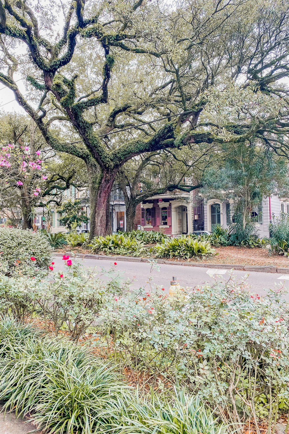 Live oak tree in front of colorful home in New Orleans