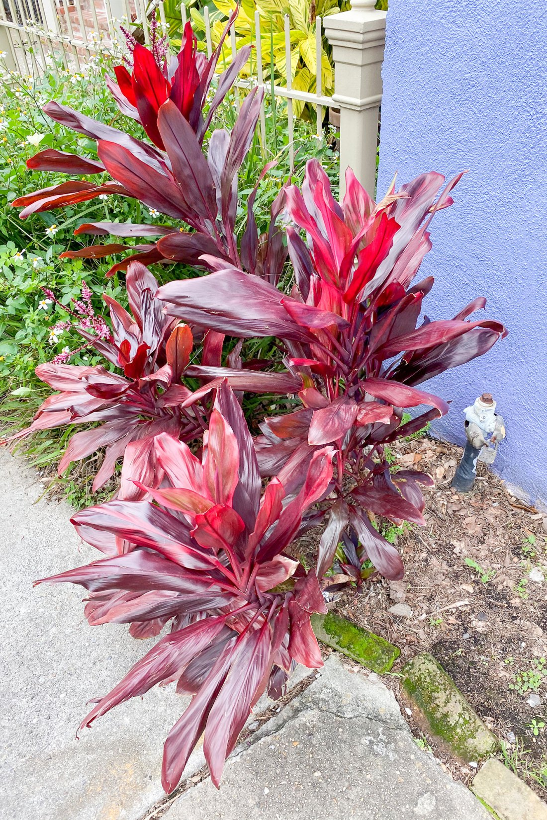 Burgundy colored plant in front of purple building