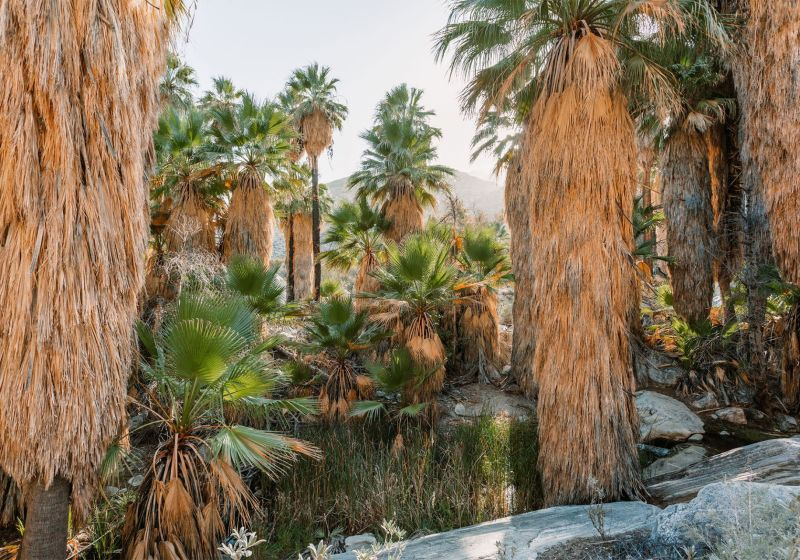Palm Trees lining a desert oasis in Palm Springs