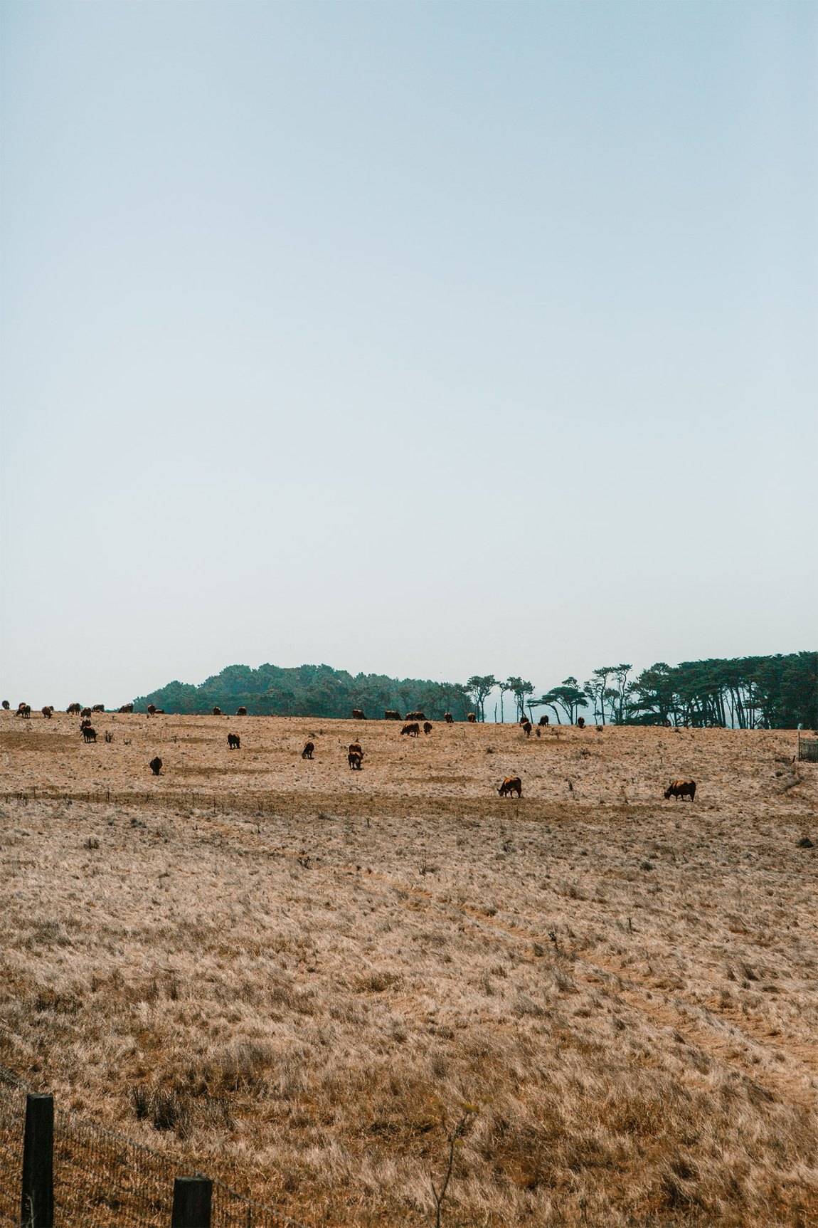 Happy California Cows in a field in Big Sur, California | as seen on the Local Love and Wanderlust Blog