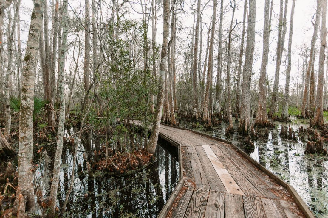 Wooden path going through Barataria Preserve swamp in Jean Lafitte National Historic Park just outside of New Orleans, Louisiana