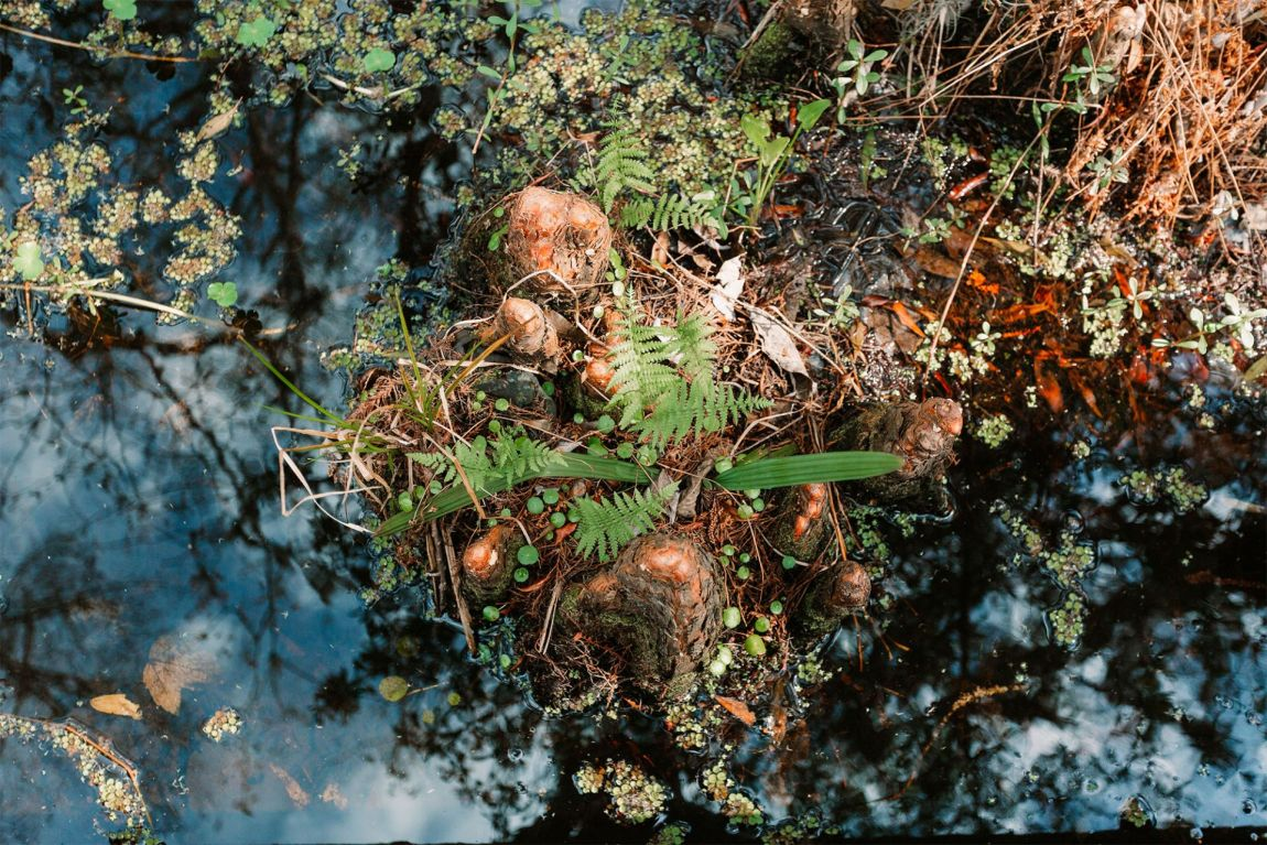 Cypress Knees poking out of the swamp