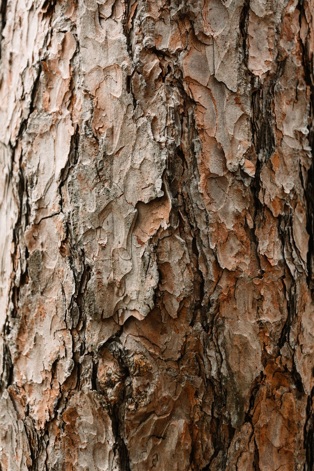 Bark of a tree in Oak Openings Preserve part of Toledo, Ohio Metropark