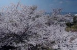 Famous sakura trees bloom in abandoned Fukushima town - 33