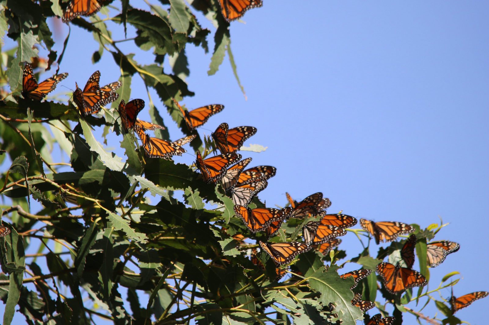 With fewer than 2,000 butterflies counted so far, Western monarch takes step closer to extinction