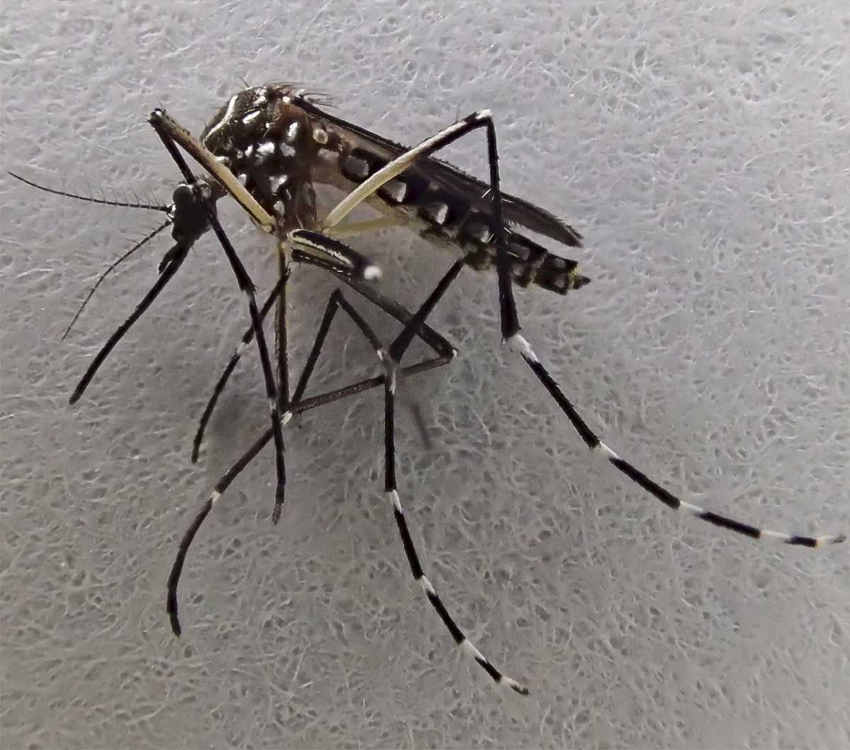 This bites: Pesky yellow fever mosquito found in Stockton for third straight year