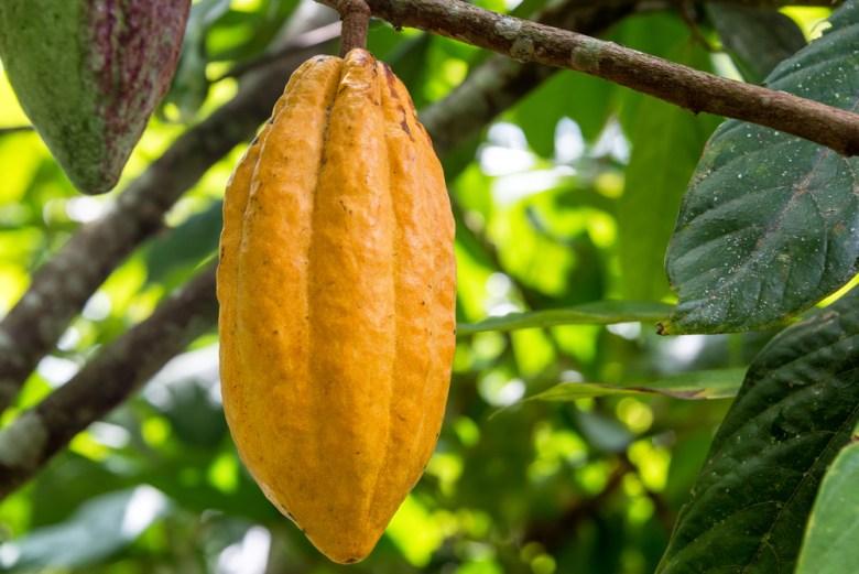 cacao tree pod