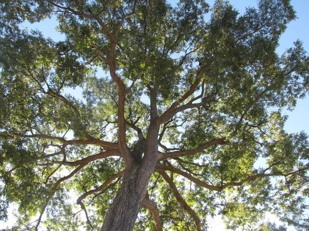 pecan tree Oak Point Park