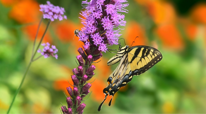 butterfly-plano