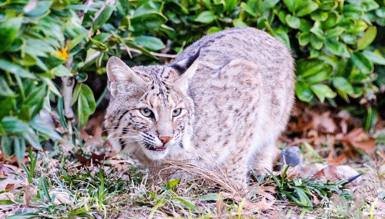 bobcat photographed in plano, texas. bobcat attacks are common in north texas and pet owners should take precautions to keep their fur babies safe.