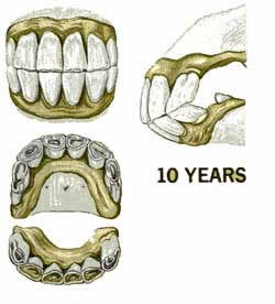 The ten year old horses teeth