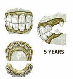 The five year old horse teeth & horses age