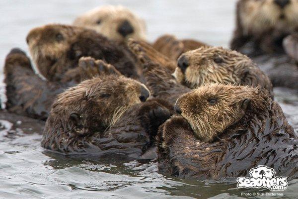 Sea Otter Web Cam