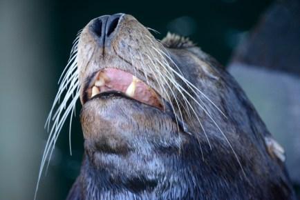 Sea Lion, Santa Cruz Wharf