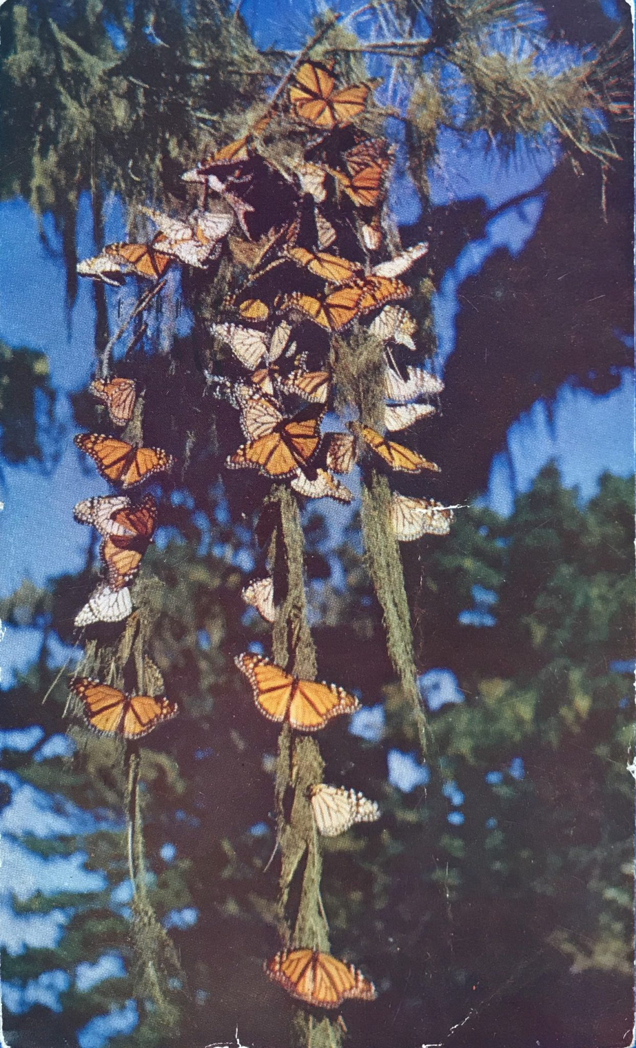 Monarch postcard