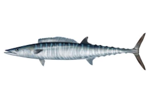 Atlantic Flounder Blue Meat