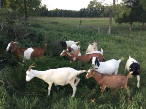 LoSU's base, Independence FUNie Farm's main operation is the growing market goat herd.