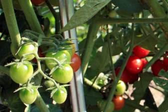 I pomodori ciliegini del nostro orto
